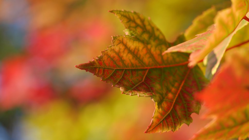 Hvad skal du være opmærksom på ifm. hækklipning om efteråret?