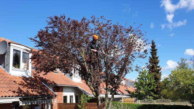 Beskæring af træer i Storkøbenhavn & Nordsjælland