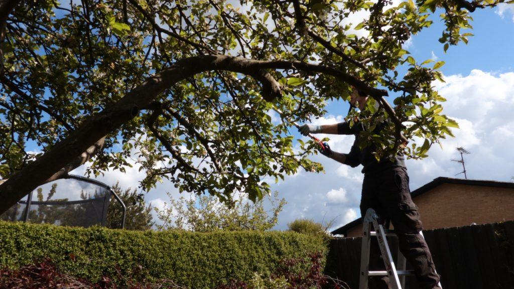 Æbletræ beskæring