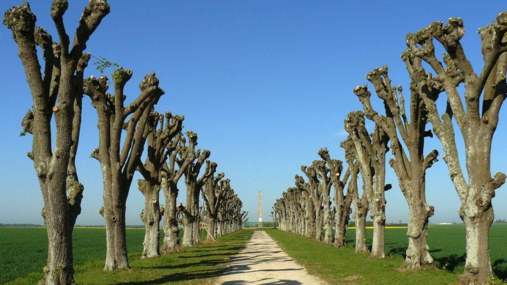 Allé med stynede træer