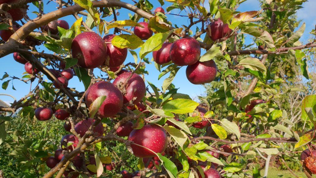 Beskæring af æbletræer hos private