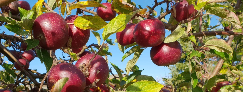Klipning og beskæring af æbletræer