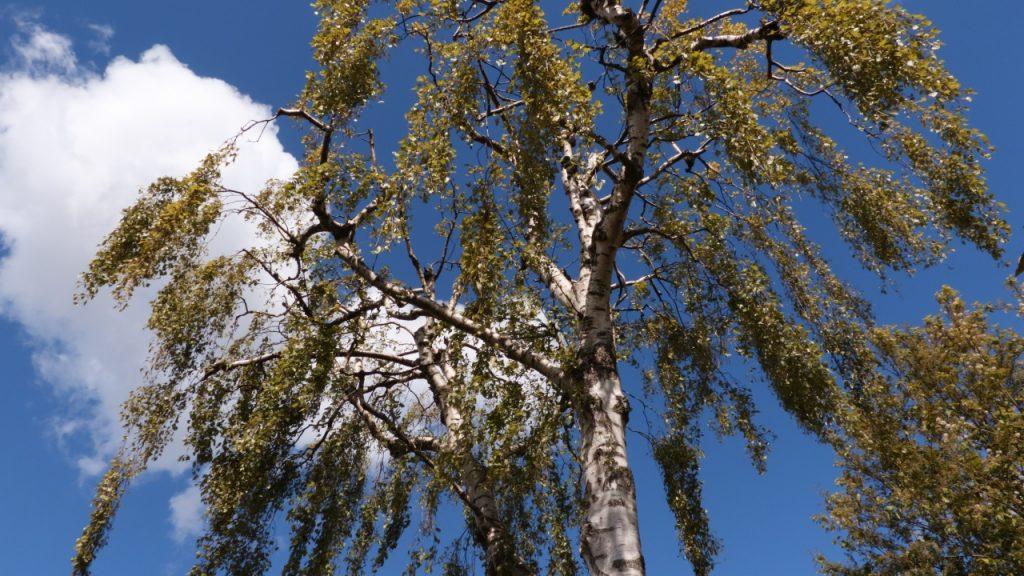 Beskæring af birketræ