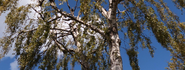 Beskæring af birketræ i Storkøbenhavn og Nordsjælland