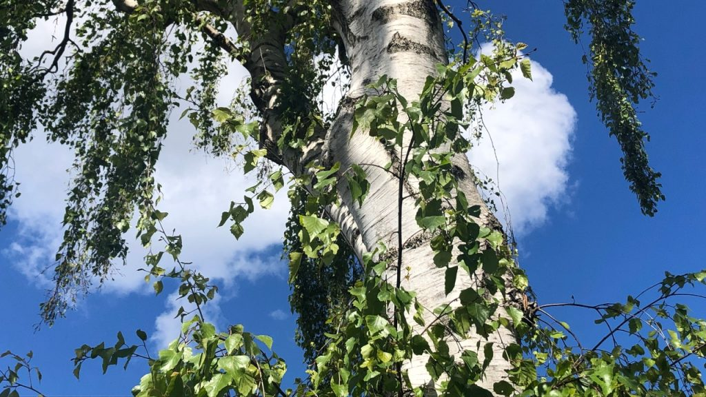 Birketræ beskæring