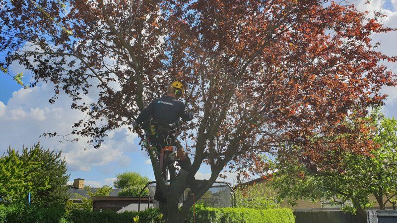 Hvor mange træer og højden har indflydelse på prisen på træfældning