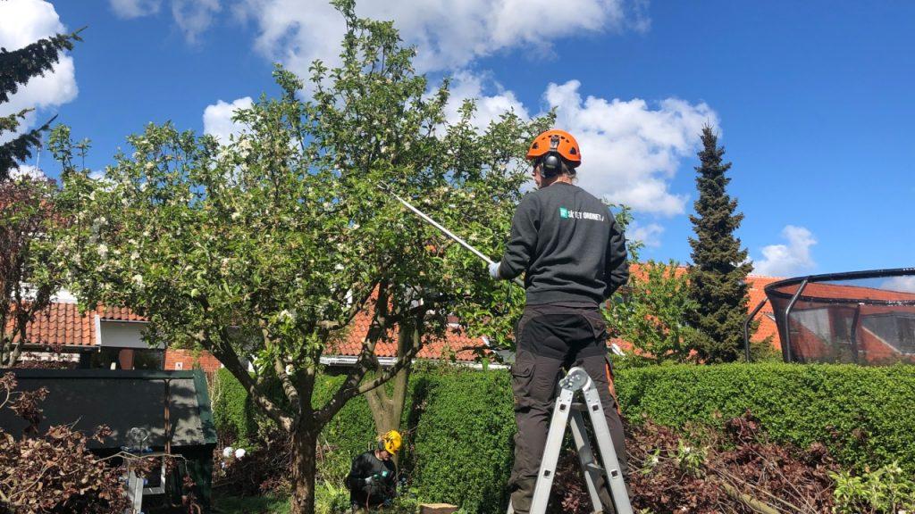 Klipning af æbletræ