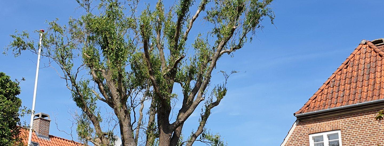 Styning af træer i Storkøbenhavn & Nordsjælland